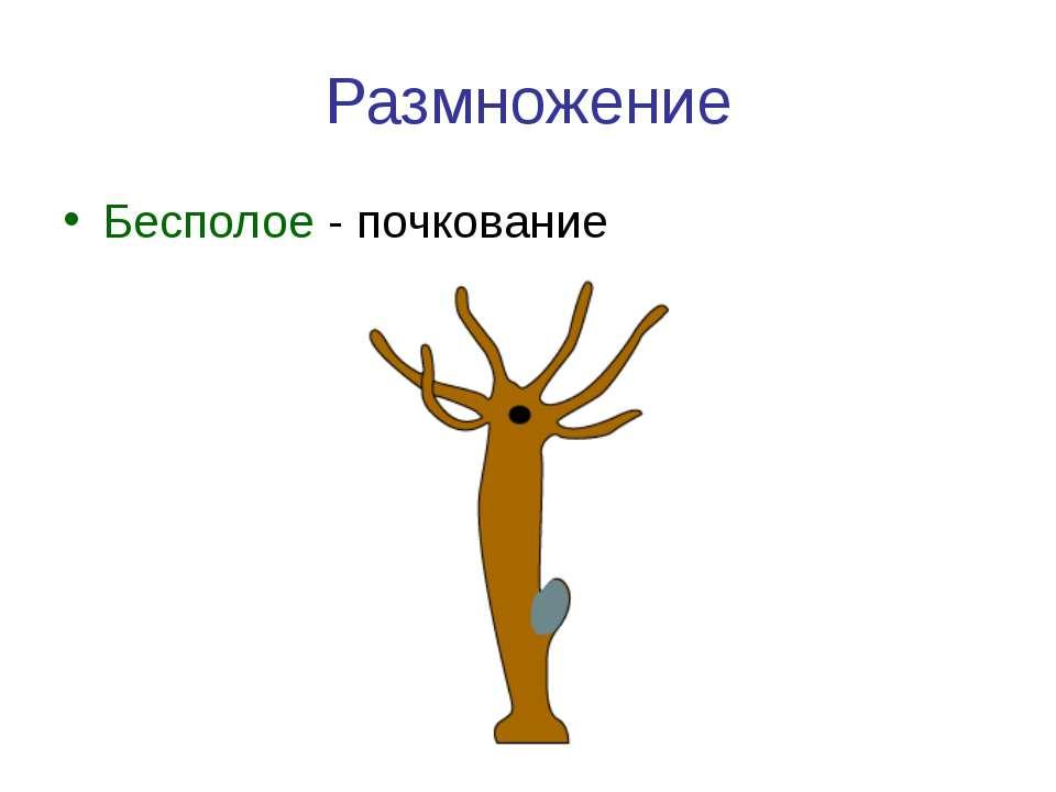 Размножение Бесполое - почкование