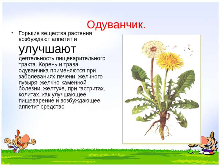 Одуванчик. Горькие вещества растения возбуждают аппетит и улучшают деятельнос...