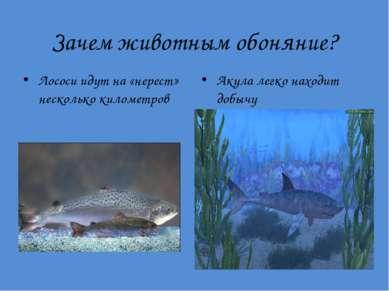 Зачем животным обоняние? Лососи идут на «нерест» несколько километров Акула л...