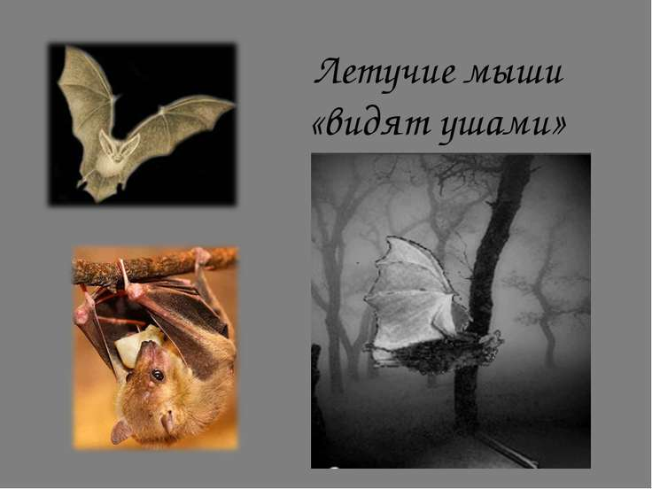 Летучие мыши «видят ушами»