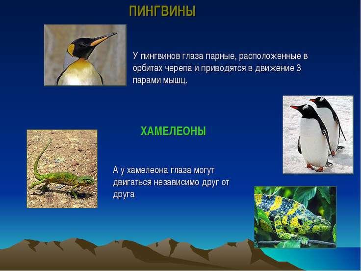 У пингвинов глаза парные, расположенные в орбитах черепа и приводятся в движе...