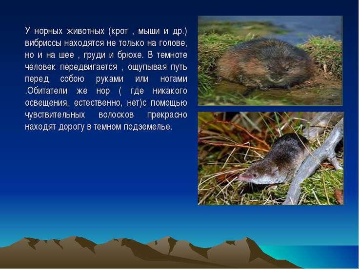 У норных животных (крот , мыши и др.) вибриссы находятся не только на голове,...