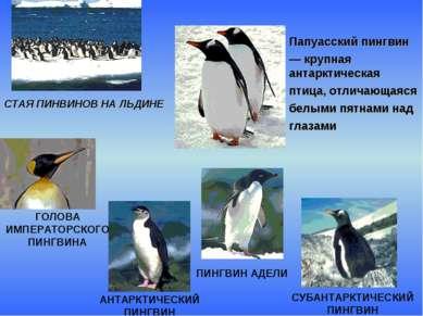 СТАЯ ПИНВИНОВ НА ЛЬДИНЕ Папуасский пингвин — крупная антарктическая птица, от...