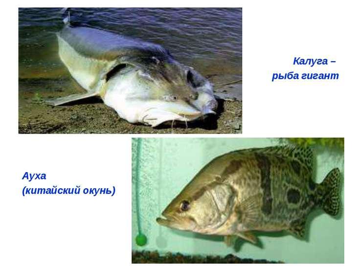Калуга – рыба гигант Ауха (китайский окунь)
