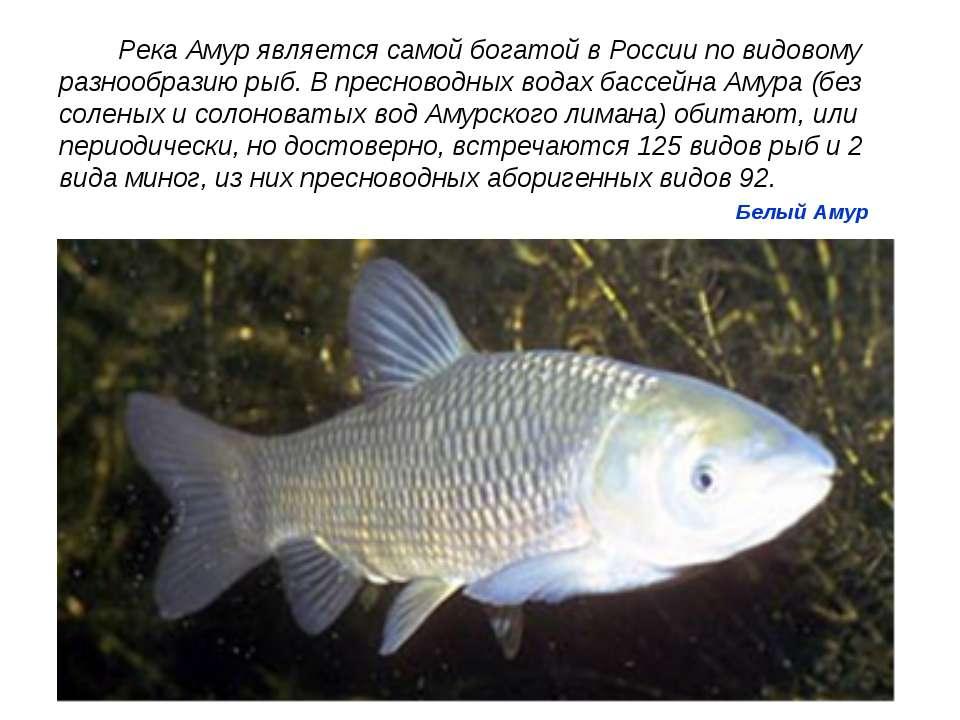 Белый Амур Река Амур является самой богатой в России по видовому разнообразию...