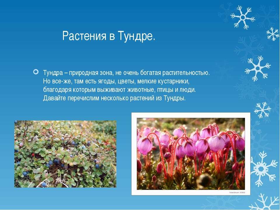 Растения в Тундре. Тундра – природная зона, не очень богатая растительностью....