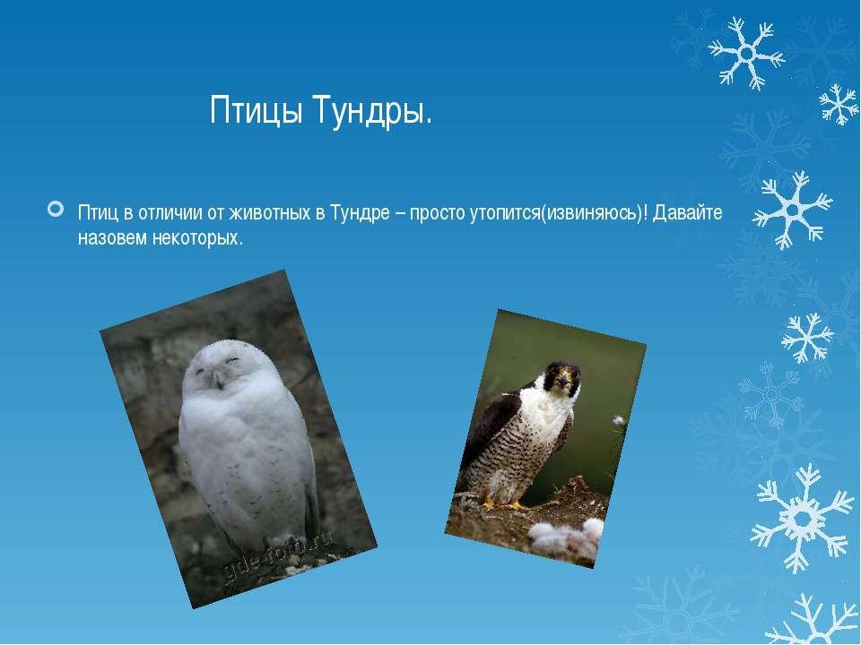 Птицы Тундры. Птиц в отличии от животных в Тундре – просто утопится(извиняюсь...
