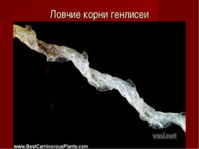 Ловчие корни генлисеи