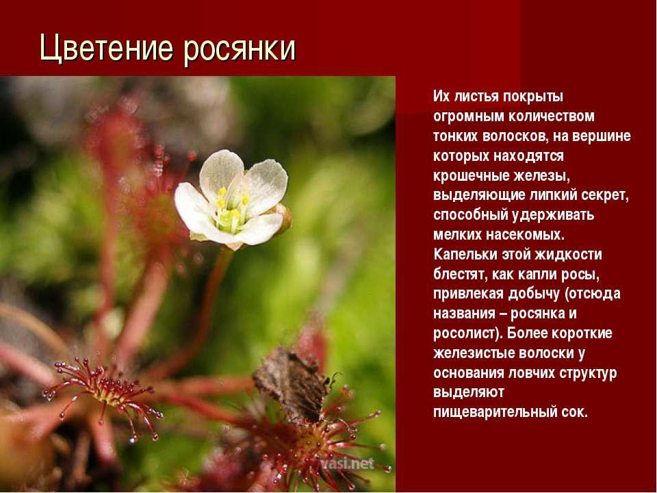Цветение росянки Их листья покрыты огромным количеством тонких волосков, на в...