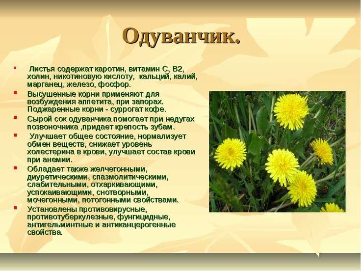 Одуванчик. Листья содержат каротин, витамин С, В2, холин, никотиновую кислоту...
