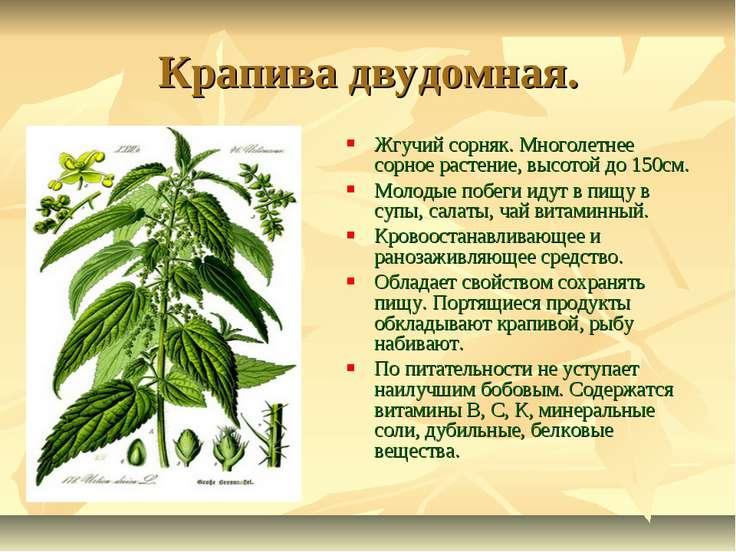 Крапива двудомная. Жгучий сорняк. Многолетнее сорное растение, высотой до 150...