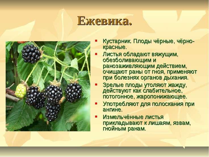 Ежевика. Кустарник. Плоды чёрные, чёрно-красные. Листья обладают вяжущим, обе...