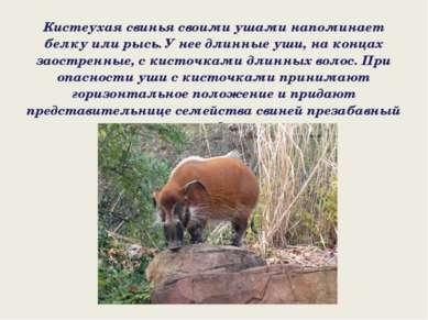 Кистеухая свинья своими ушами напоминает белку или рысь. У нее длинные уши, н...