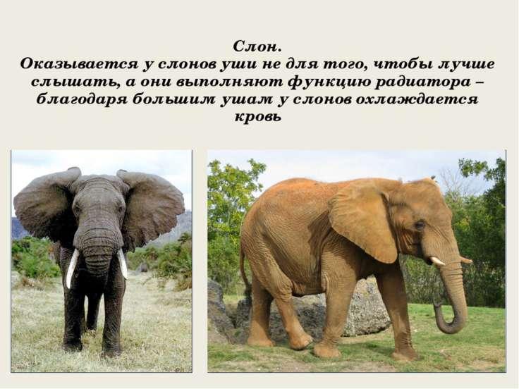 Слон. Оказывается у слонов уши не для того, чтобы лучше слышать, а они выполн...