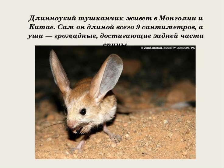 Длинноухий тушканчик живет в Монголии и Китае. Сам он длиной всего 9 сантимет...