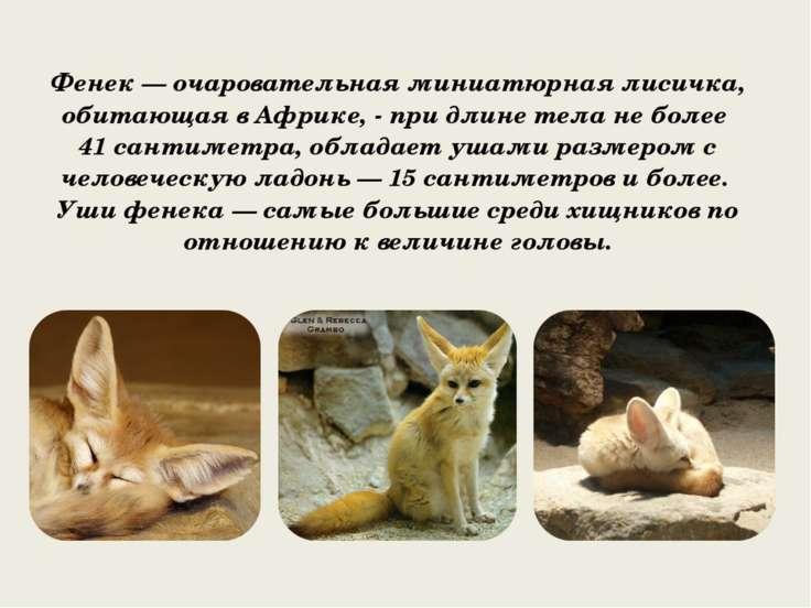 Фенек — очаровательная миниатюрная лисичка, обитающая в Африке, - при длине т...