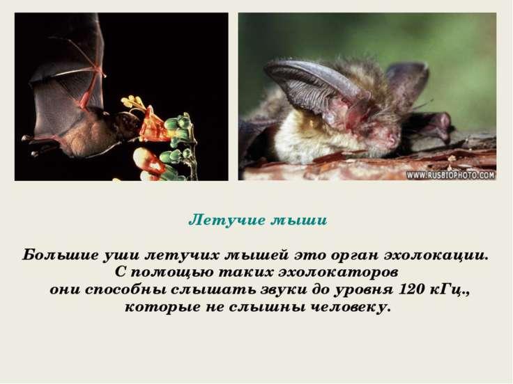 Летучие мыши Большие уши летучих мышей это орган эхолокации. С помощью таких ...