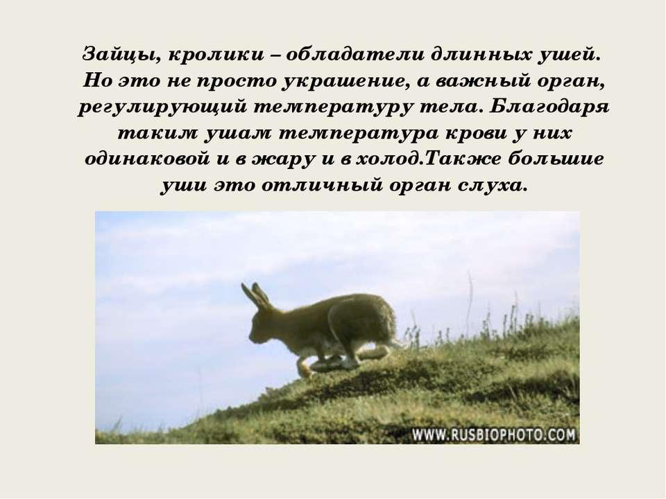 Зайцы, кролики – обладатели длинных ушей. Но это не просто украшение, а важны...