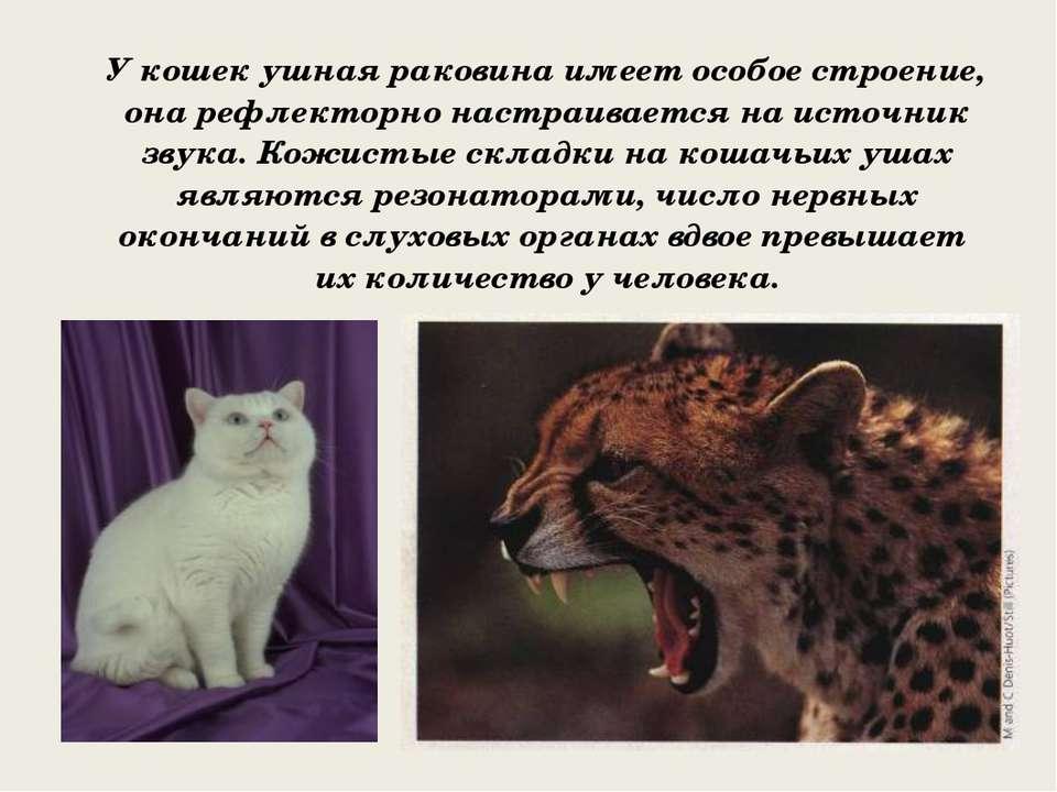 У кошек ушная раковина имеет особое строение, она рефлекторно настраивается н...