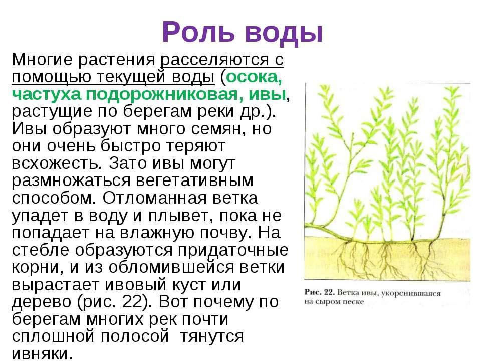 Роль воды Многие растения расселяются с помощью текущей воды (осока, частуха ...