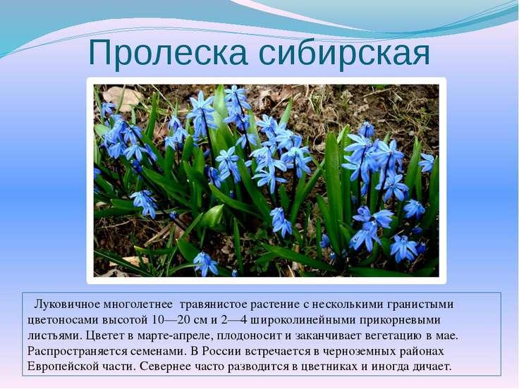Пролеска сибирская Луковичное многолетнее травянистое растение с несколькими ...