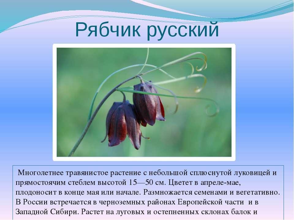 Рябчик русский Многолетнее травянистое растение с небольшой сплюснутой лукови...