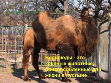 Верблюды - это крупные животные, приспособленные для жизни в пустыне