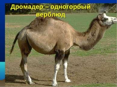 Дромадер – одногорбый верблюд