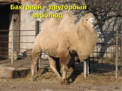 Бактриан – двугорбый верблюд