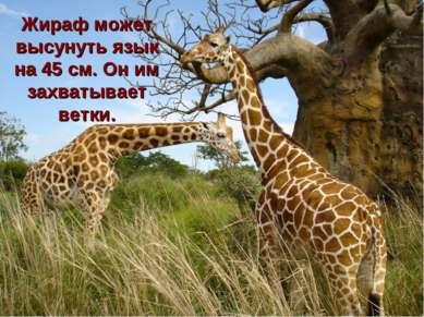 Жираф может высунуть язык на 45 см. Он им захватывает ветки.