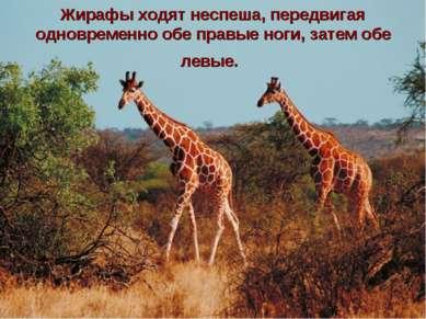 Жирафы ходят неспеша, передвигая одновременно обе правые ноги, затем обе левые.