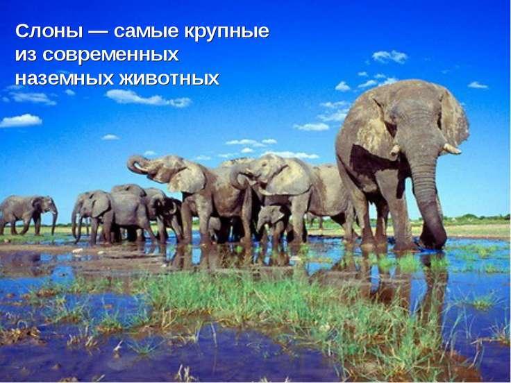 Слоны — самые крупные из современных наземных животных