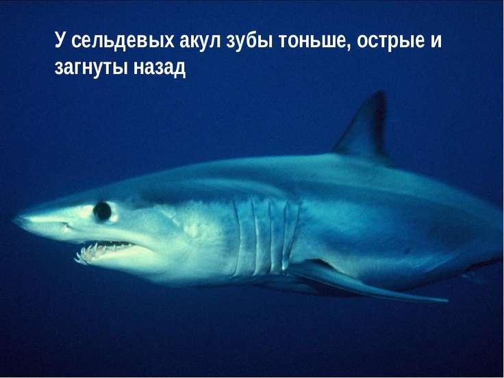 У сельдевых акул зубы тоньше, острые и загнуты назад