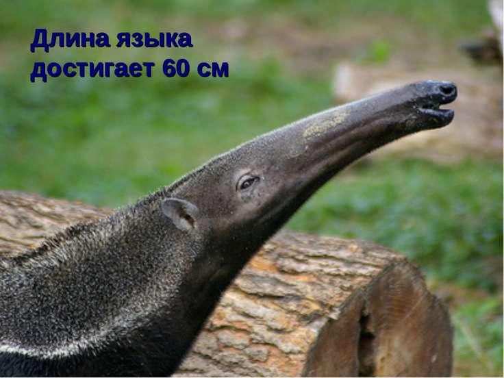 Длина языка достигает 60 см