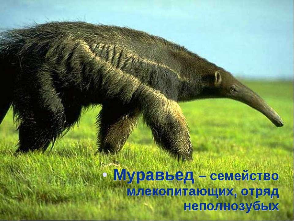 Муравьед – семейство млекопитающих, отряд неполнозубых