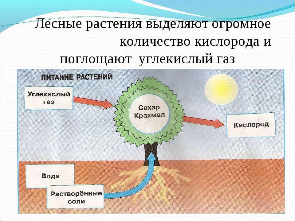 Лесные растения выделяют огромное количество кислорода и поглощают углекислый...
