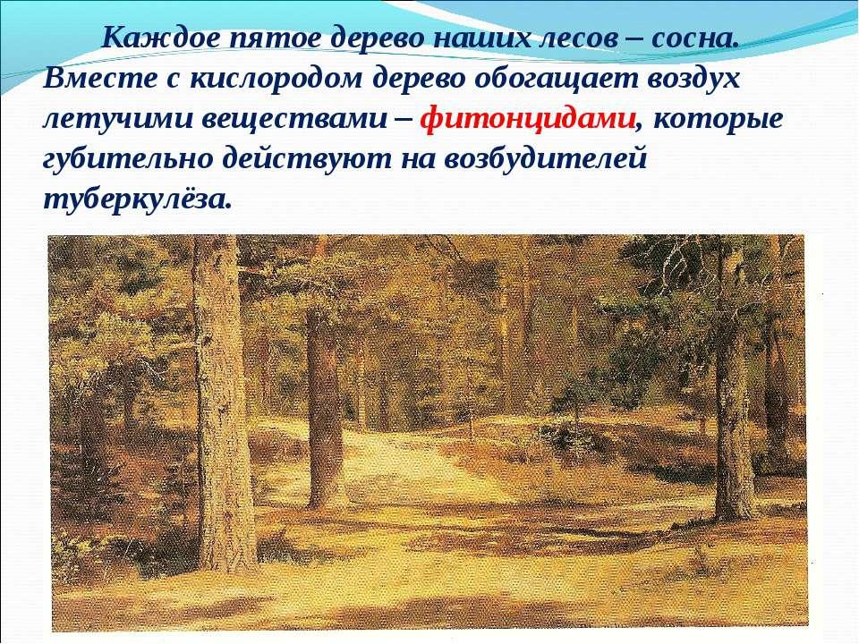 Каждое пятое дерево наших лесов – сосна. Вместе с кислородом дерево обогащает...
