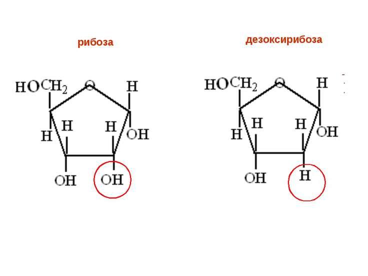рибоза дезоксирибоза