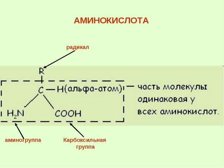 АМИНОКИСЛОТА радикал Карбоксильная группа аминогруппа