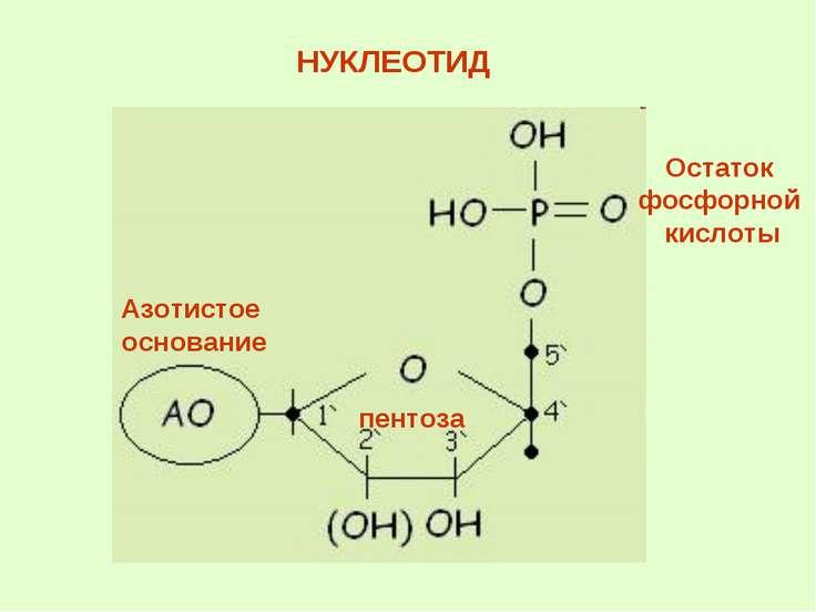НУКЛЕОТИД Остаток фосфорной кислоты пентоза Азотистое основание