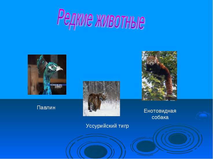 Енотовидная собака Уссурийский тигр Павлин