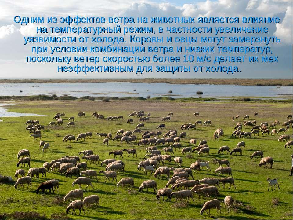 Одним из эффектов ветра на животных является влияние на температурный режим, ...