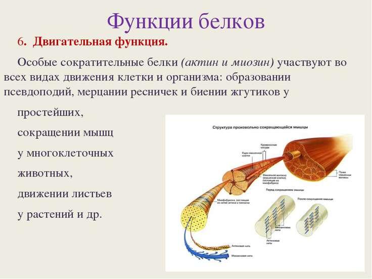 Функции белков 6. Двигательная функция. Особые сократительные белки (актин и ...
