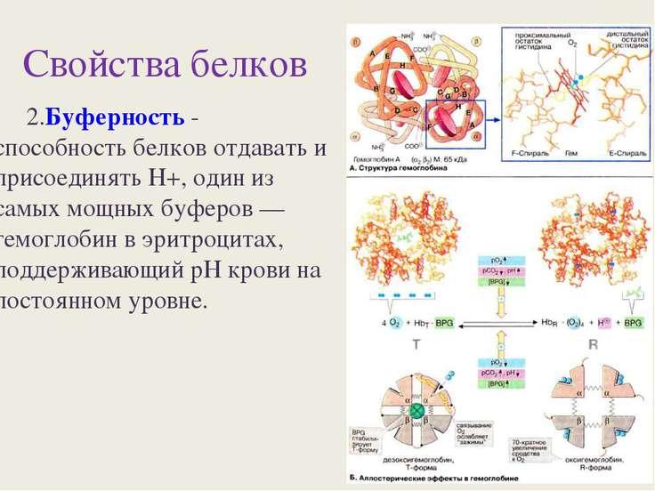 Свойства белков 2.Буферность - способность белков отдавать и присоединять Н+,...