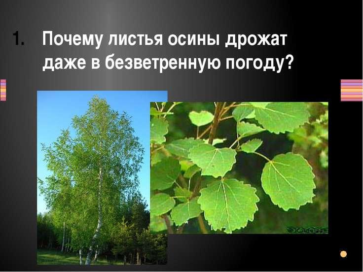 Почему листья осины дрожат даже в безветренную погоду? Заголовок раздела