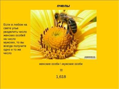женские особи \ мужские особи = 1,618 пчелы Если в любом на свете улье раздел...