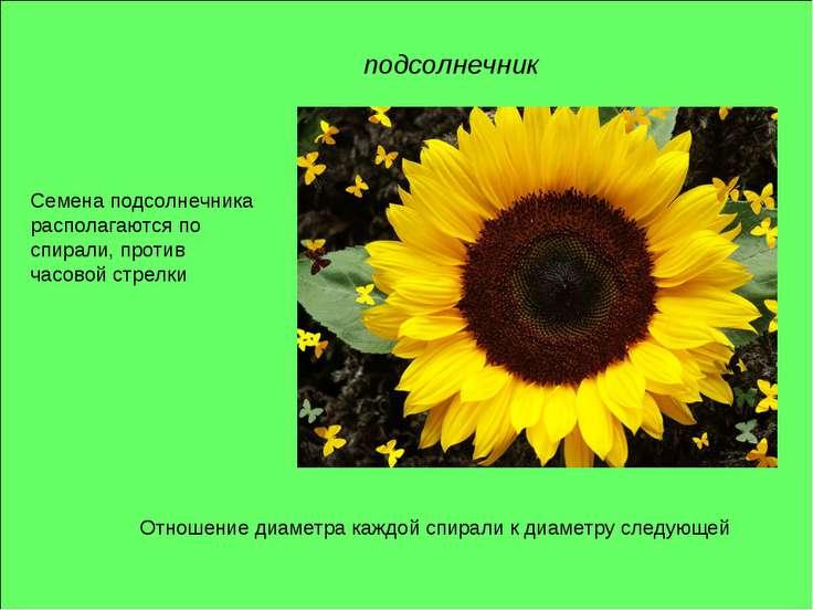 подсолнечник Отношение диаметра каждой спирали к диаметру следующей Семена по...