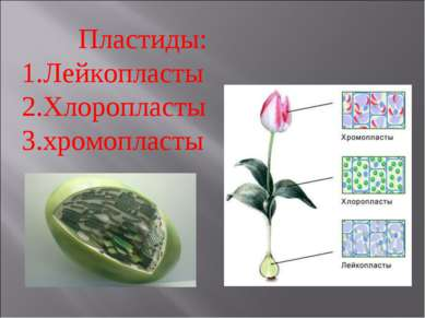 Пластиды: Лейкопласты Хлоропласты хромопласты