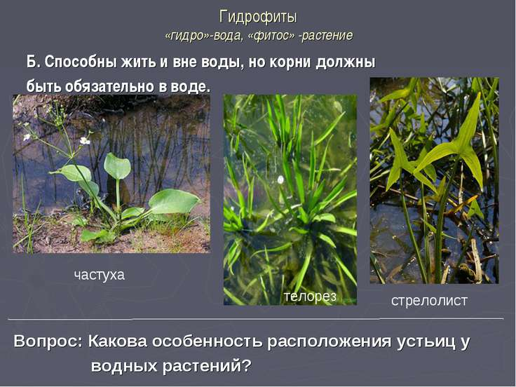 Гидрофиты «гидро»-вода, «фитос» -растение Б. Способны жить и вне воды, но кор...