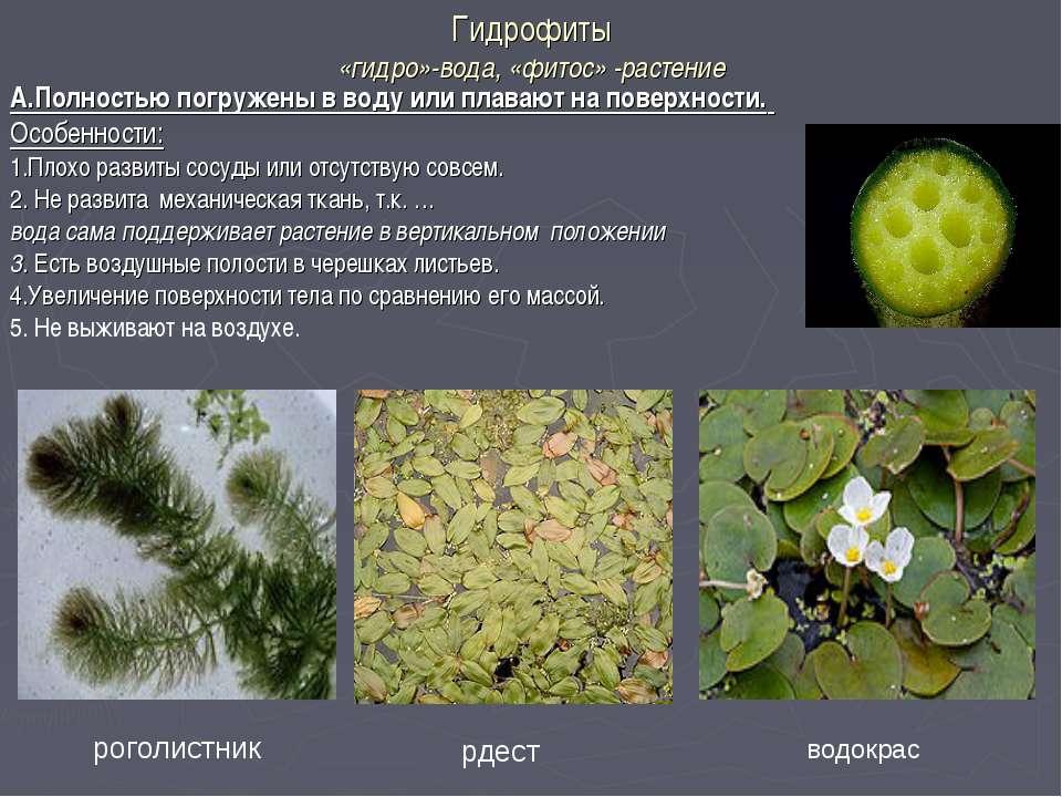 Гидрофиты «гидро»-вода, «фитос» -растение А.Полностью погружены в воду или пл...